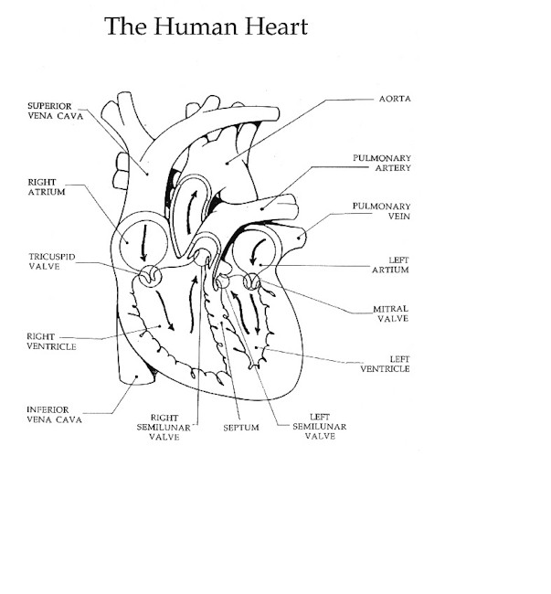 The heart and circulation of blood ccuart